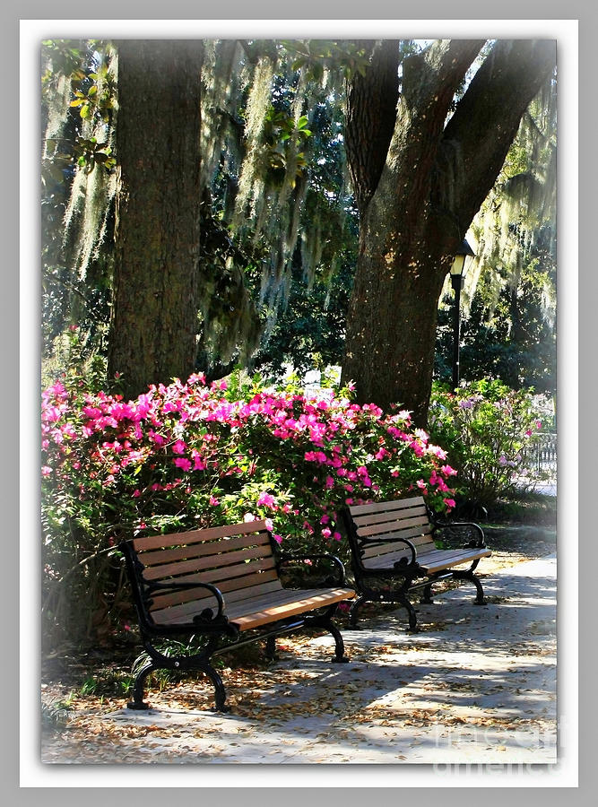 Two Benches In Savannah Photograph  - Two Benches In Savannah Fine Art Print