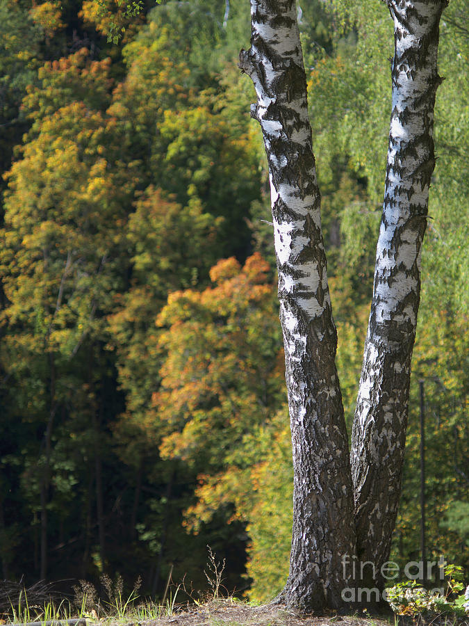 Two Birch Trees In Autumn Forest. Selective Focus Pyrography