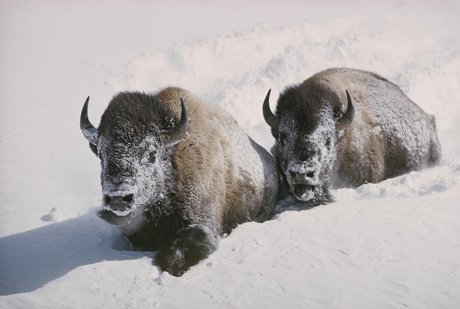 Two Bison Move Through Chest-deep Snow Photograph