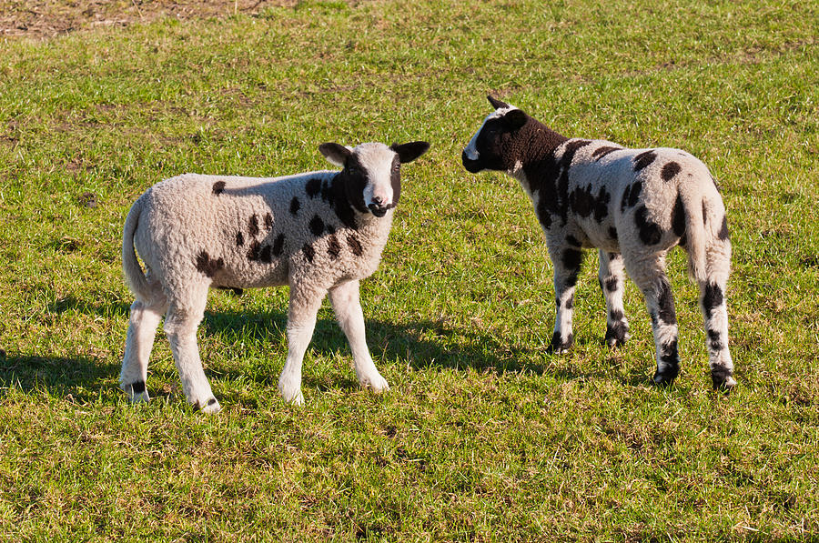Two Black Spotted Little Lambs On Grass Photograph