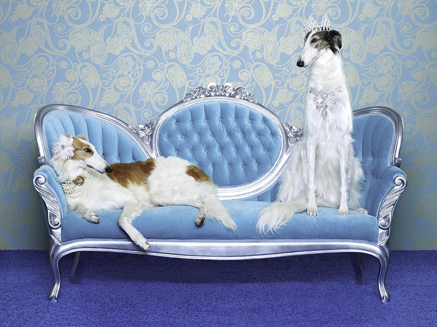 Two Borzoi (canis Lupus Familiaris) On Couch Photograph  - Two Borzoi (canis Lupus Familiaris) On Couch Fine Art Print