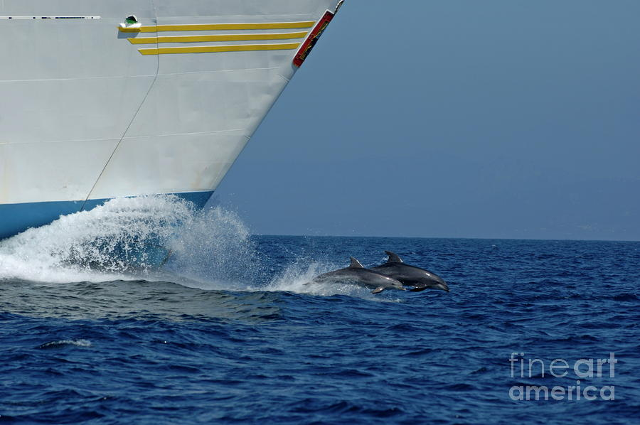 Two Bottlenose Dolphins Swimming In Front Of A Ship Photograph  - Two Bottlenose Dolphins Swimming In Front Of A Ship Fine Art Print