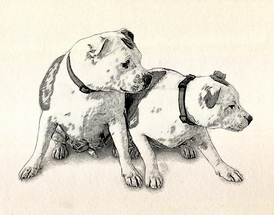 Two Bull Terriers Drawing  - Two Bull Terriers Fine Art Print
