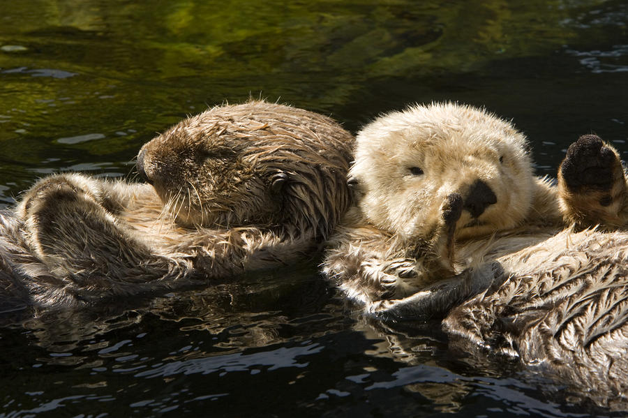 Two Captive Sea Otters Floating Back Photograph  - Two Captive Sea Otters Floating Back Fine Art Print