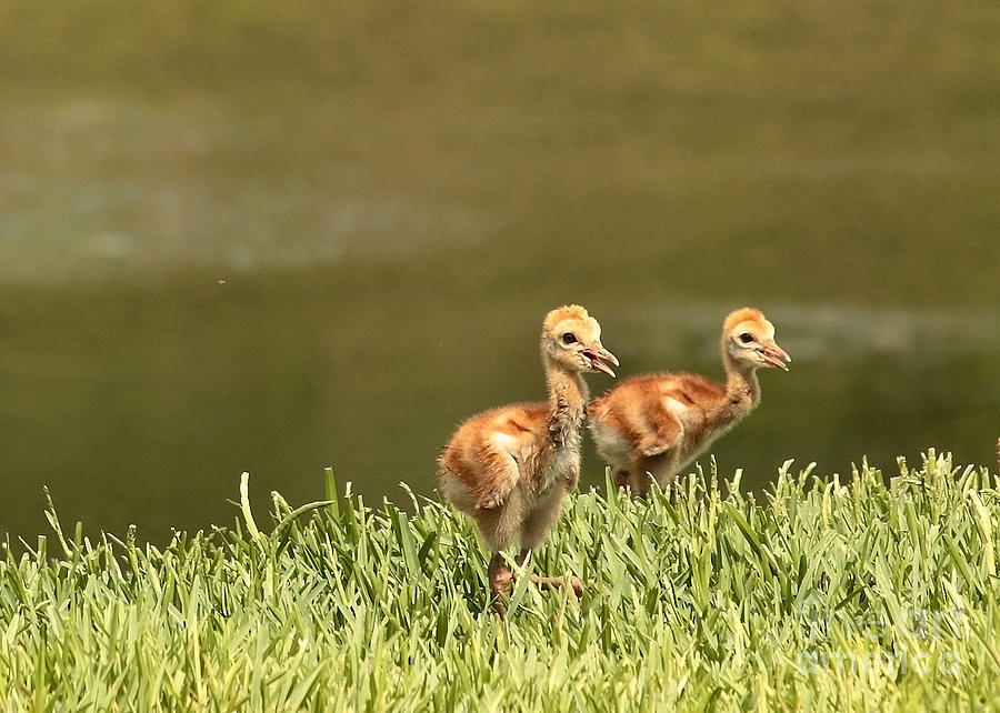 Two Chicks Photograph