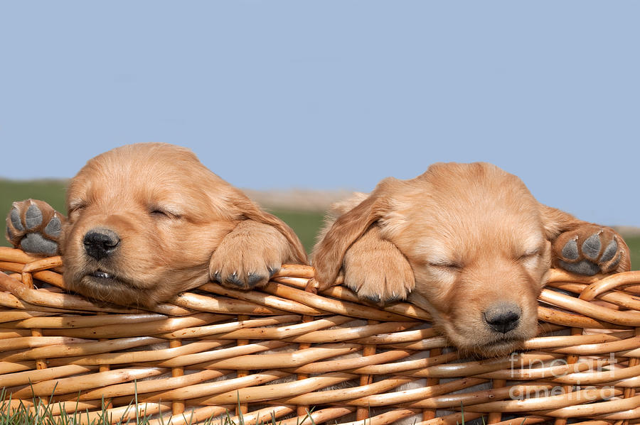 Two Cute Puppies Asleep In Basket Photograph