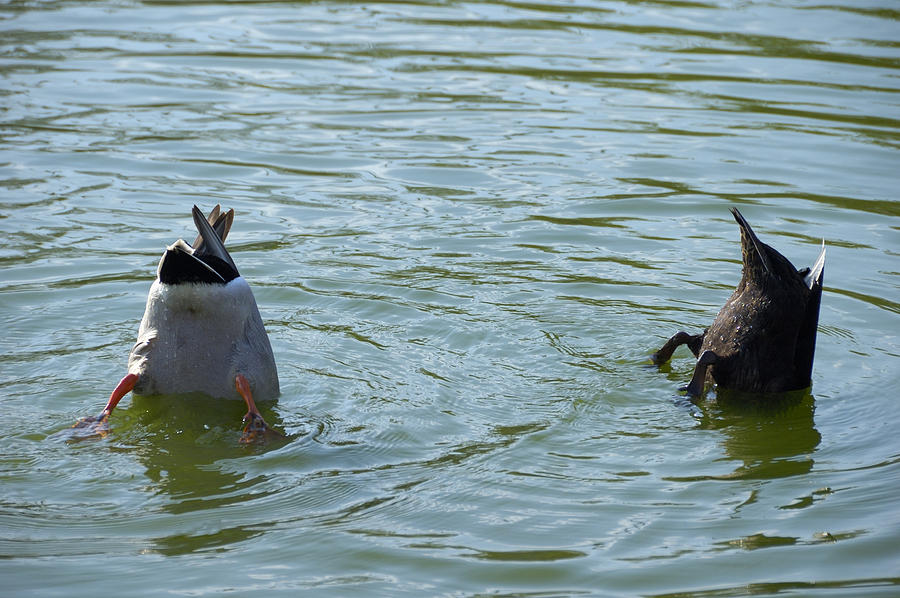 Two Ducks Diving Photograph  - Two Ducks Diving Fine Art Print