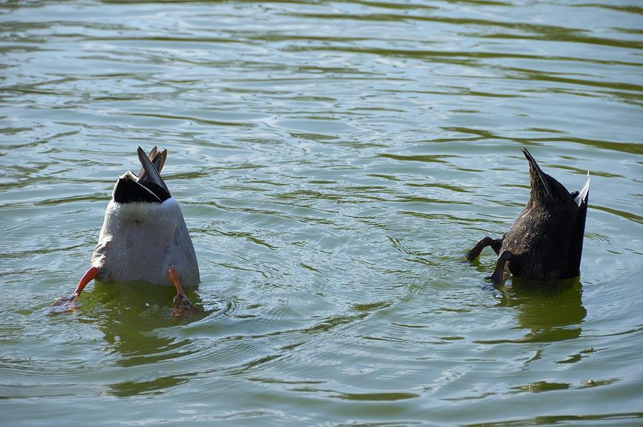 Ducks Photograph - Two Ducks Diving by Matthias Hauser
