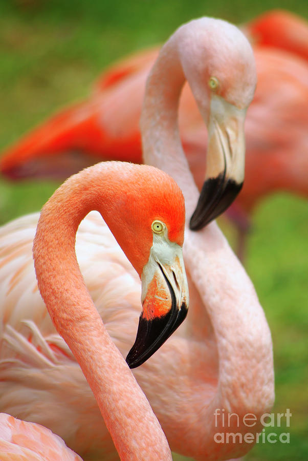 Two Flamingoes Photograph  - Two Flamingoes Fine Art Print