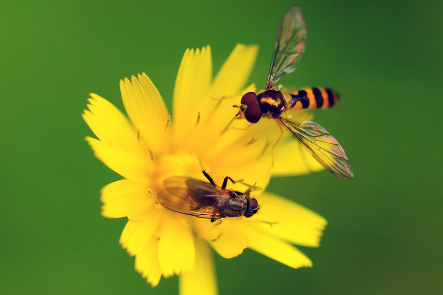 Two Flies Pollinate A Yellow Flower Photograph  - Two Flies Pollinate A Yellow Flower Fine Art Print