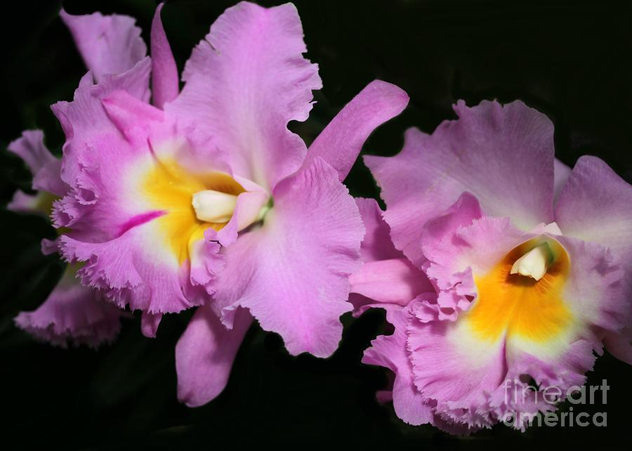 Two Frilly Orchids Photograph  - Two Frilly Orchids Fine Art Print