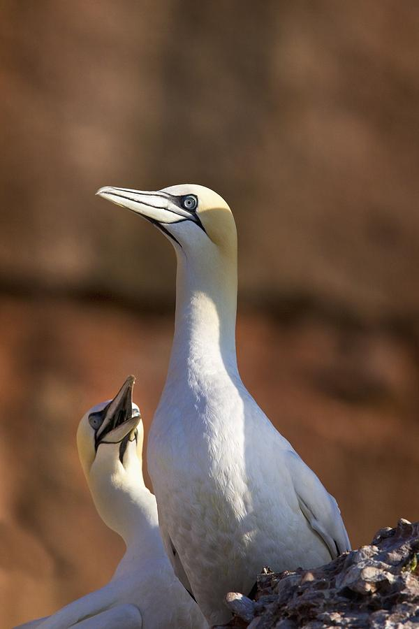 Two Gannets Interacting Perce, Quebec Photograph  - Two Gannets Interacting Perce, Quebec Fine Art Print