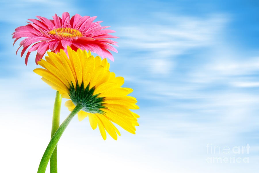 Two Gerberas Photograph  - Two Gerberas Fine Art Print