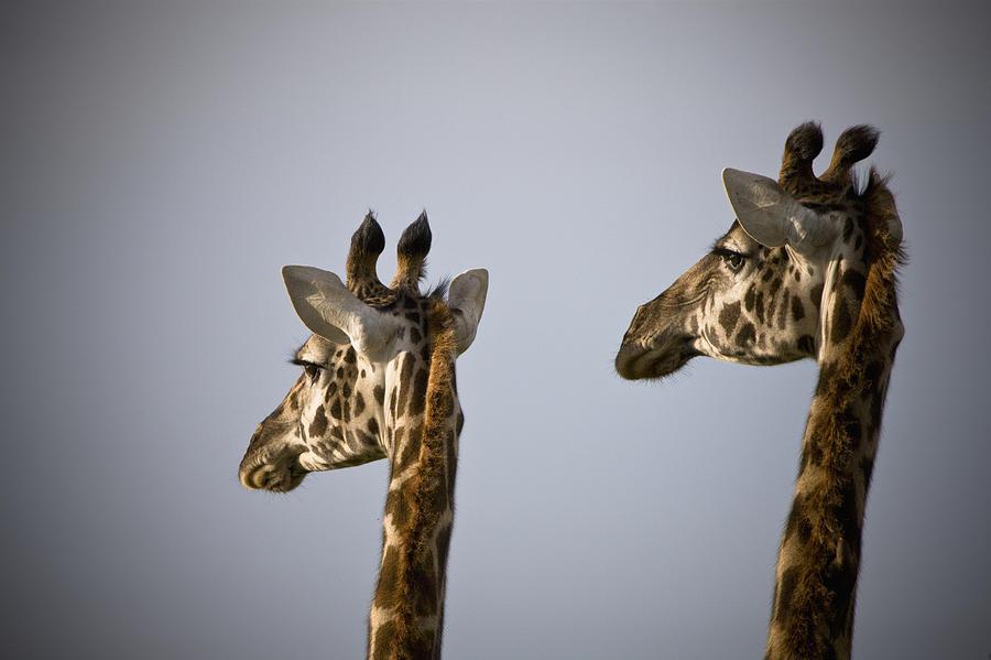 Two Giraffe Heads Side By Side Kenya Photograph