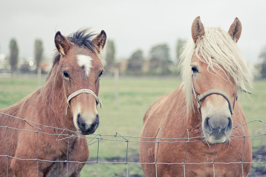 Two Horses Behind A Wired Fence Photograph