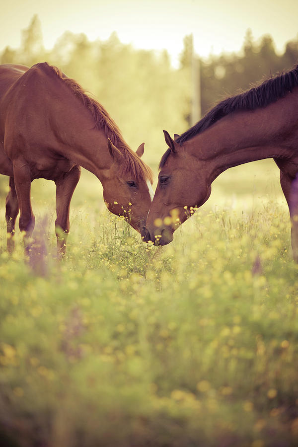 Two Horses In Field Photograph  - Two Horses In Field Fine Art Print