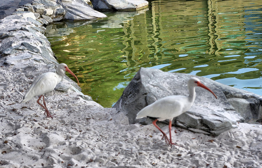 Two Ibis Photograph  - Two Ibis Fine Art Print