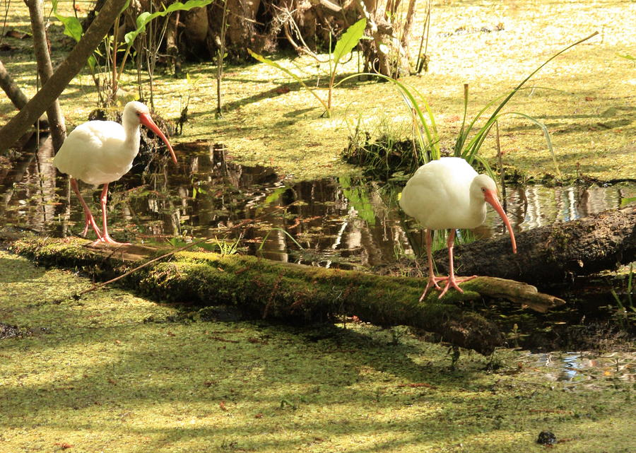 Two Ibises On A Log Photograph  - Two Ibises On A Log Fine Art Print