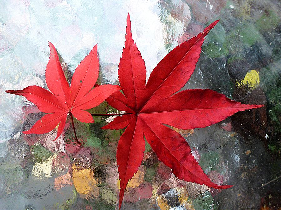 Image gallery japanese red maple leaves Japanese maple leaf
