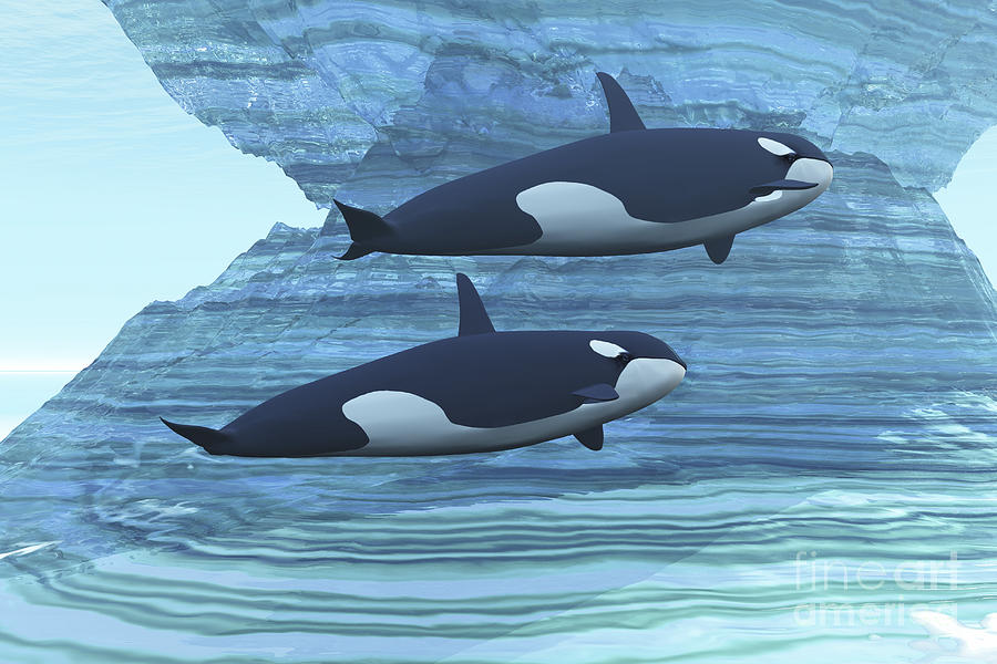 Two Killer Whales Swim Around Submerged Digital Art