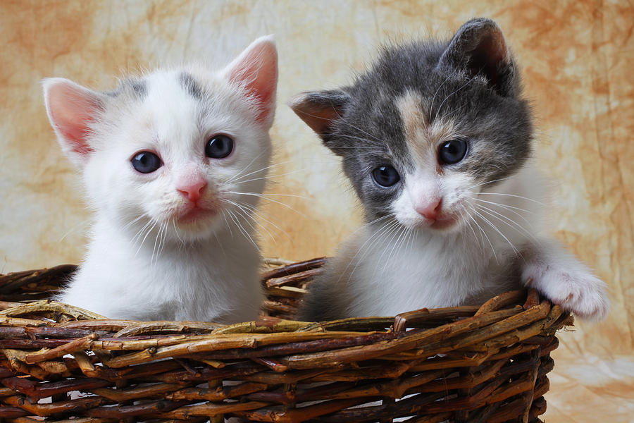 Two Kittens Basket Cat Cute Photograph - Two Kittens In Basket by Garry Gay