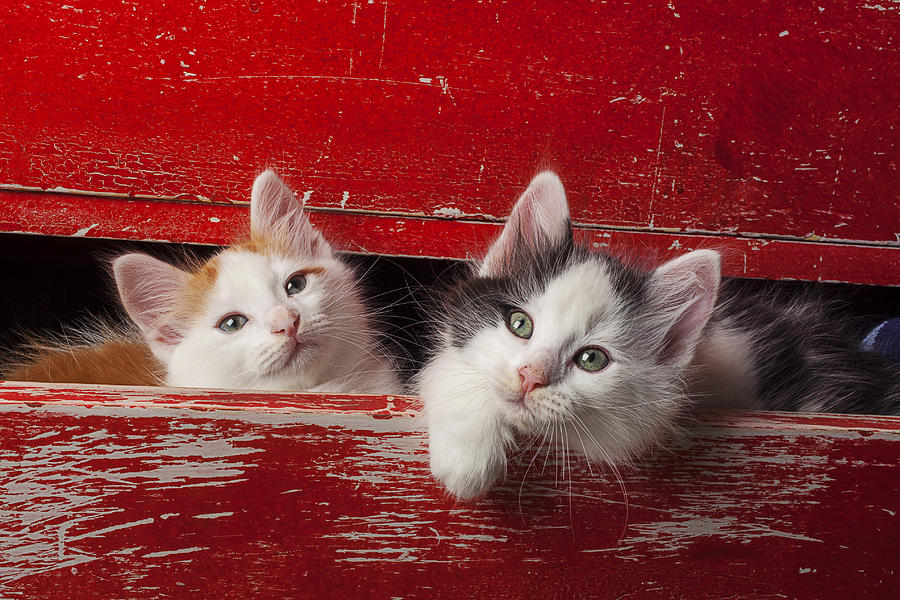 Two Kittens In Red Drawer Photograph