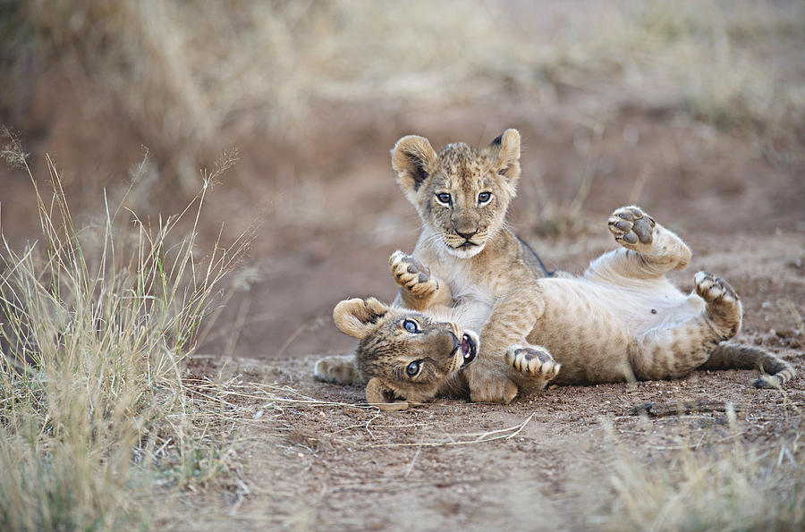 Two Male Lion Cubs Wrestle On The Trail Photograph