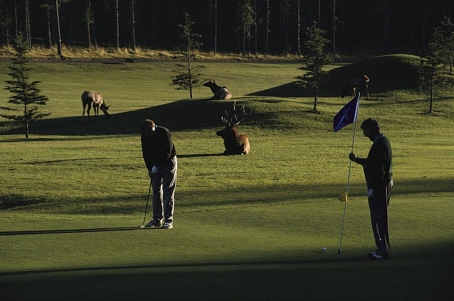 Two People Play Golf While Elk Graze Photograph  - Two People Play Golf While Elk Graze Fine Art Print