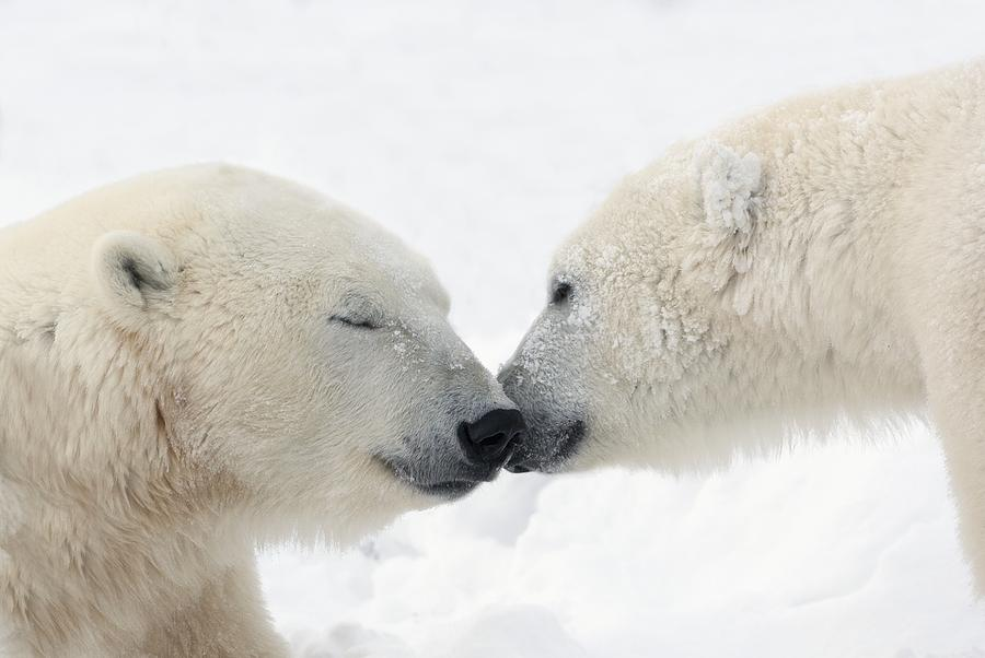 Two Polar Bears Ursus Maritimus Photograph  - Two Polar Bears Ursus Maritimus Fine Art Print