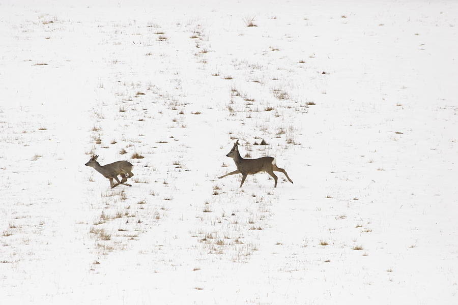 Two Roe Deer Running On Snow Photograph  - Two Roe Deer Running On Snow Fine Art Print