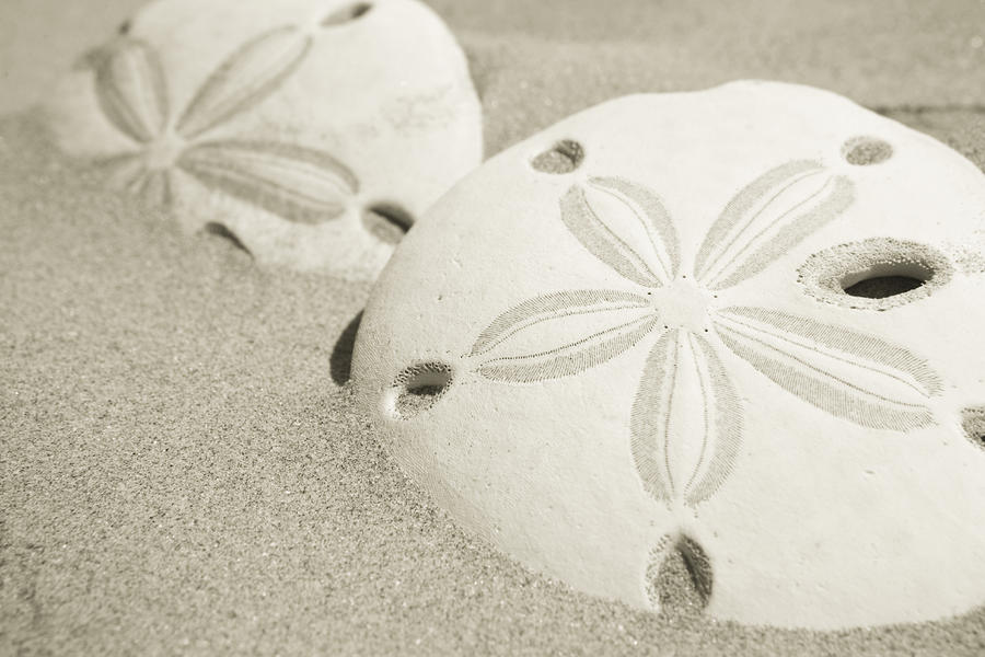 Two Sand Dollars Rest In The Sand Photograph
