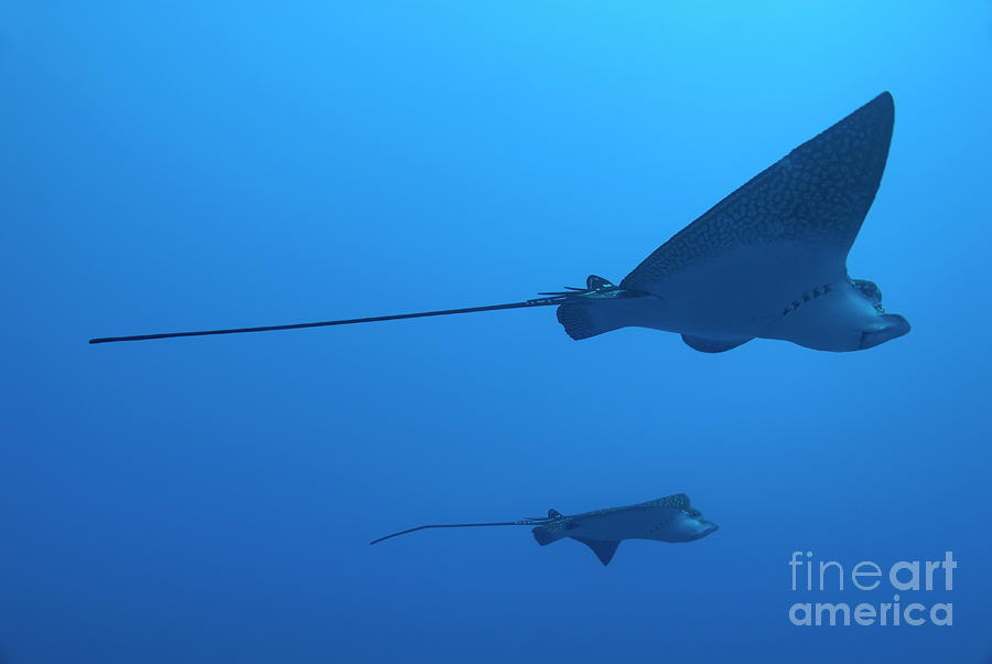 Two Swimming Spotted Eagle Rays Underwater Photograph  - Two Swimming Spotted Eagle Rays Underwater Fine Art Print