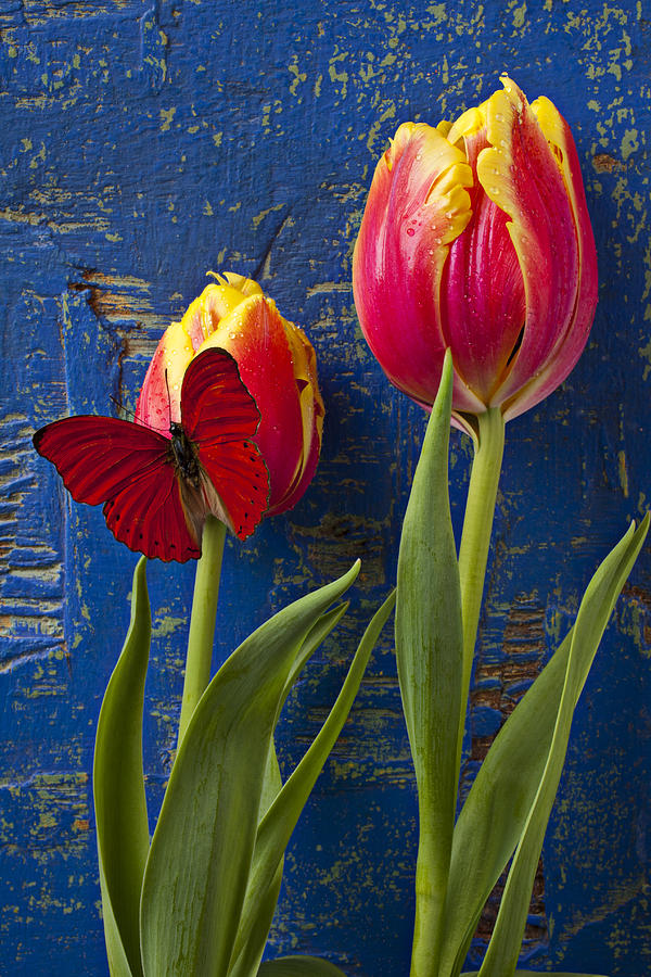 Two Tulips With Red Butterfly Photograph  - Two Tulips With Red Butterfly Fine Art Print
