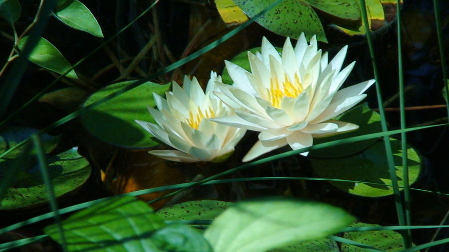 Two Waterlilies Photograph  - Two Waterlilies Fine Art Print