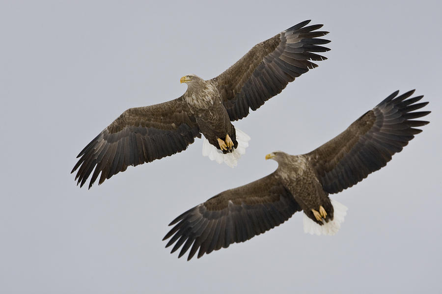 Two White-tailed Eagles In Flight Side Photograph  - Two White-tailed Eagles In Flight Side Fine Art Print
