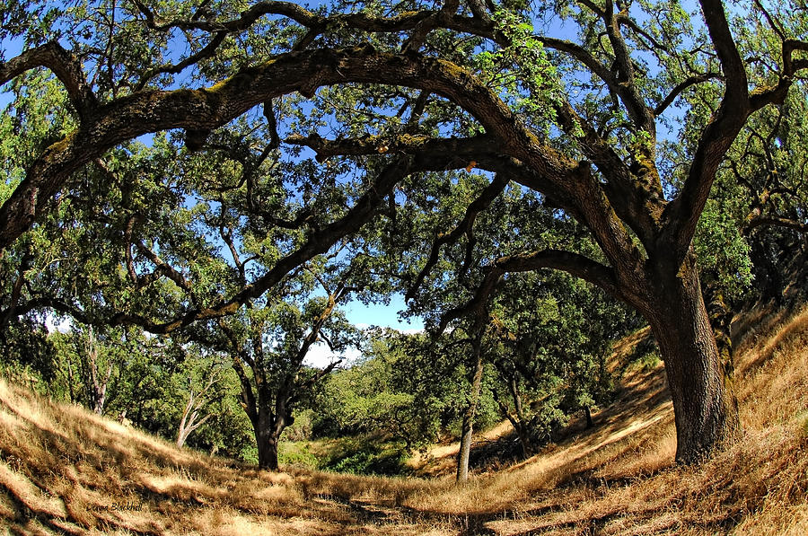 California Photograph - Under The Oak Canopy by Donna Blackhall