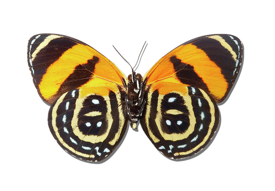 Underside Of Brush-footed Butterfly Of Peru Photograph