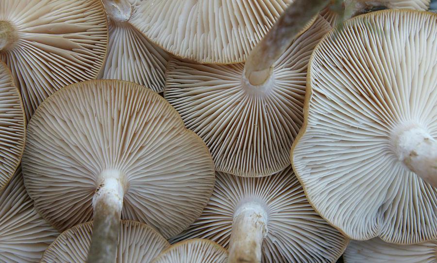 Underside Of Mushrooms Photograph