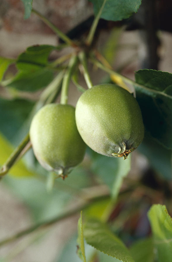 Unripe Royal Gala Apples Growing Photograph