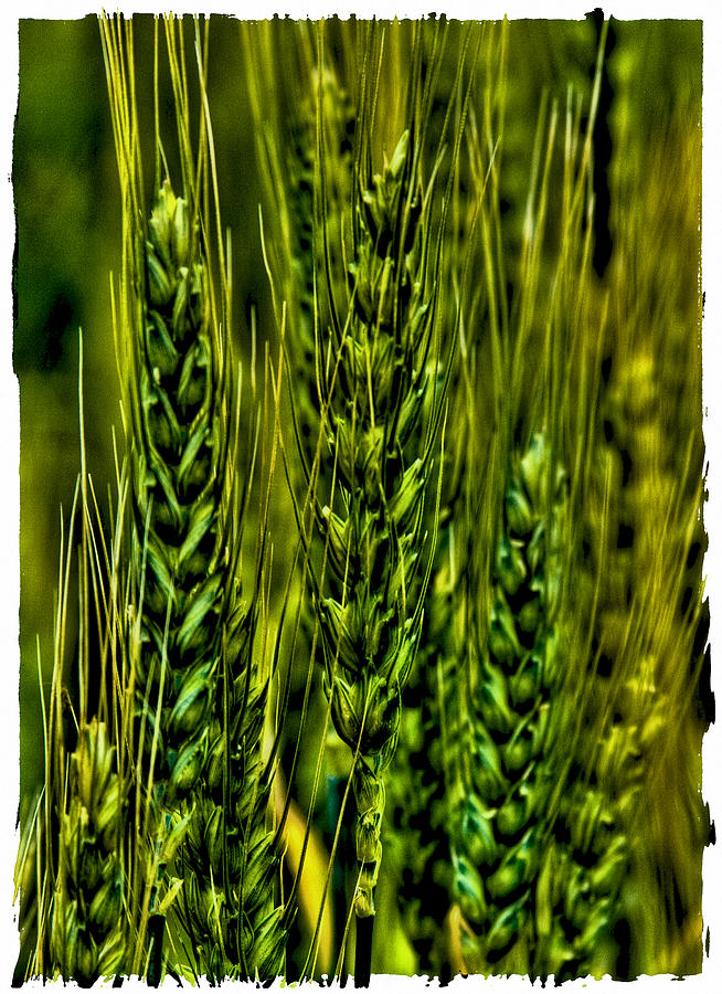 Unripened Wheat Photograph  - Unripened Wheat Fine Art Print