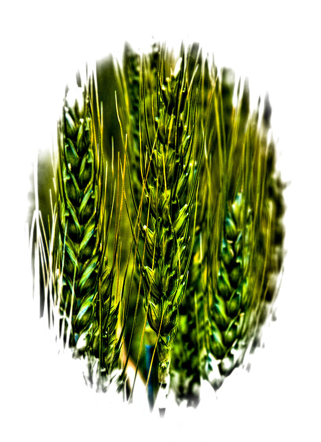 Unripened Wheat II Photograph  - Unripened Wheat II Fine Art Print