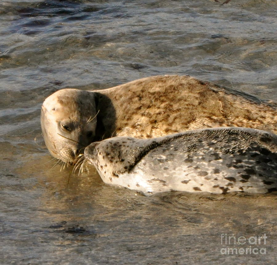 Harbor Seal Mother And Baby Photograph Photograph - Up Close by Johanne Peale