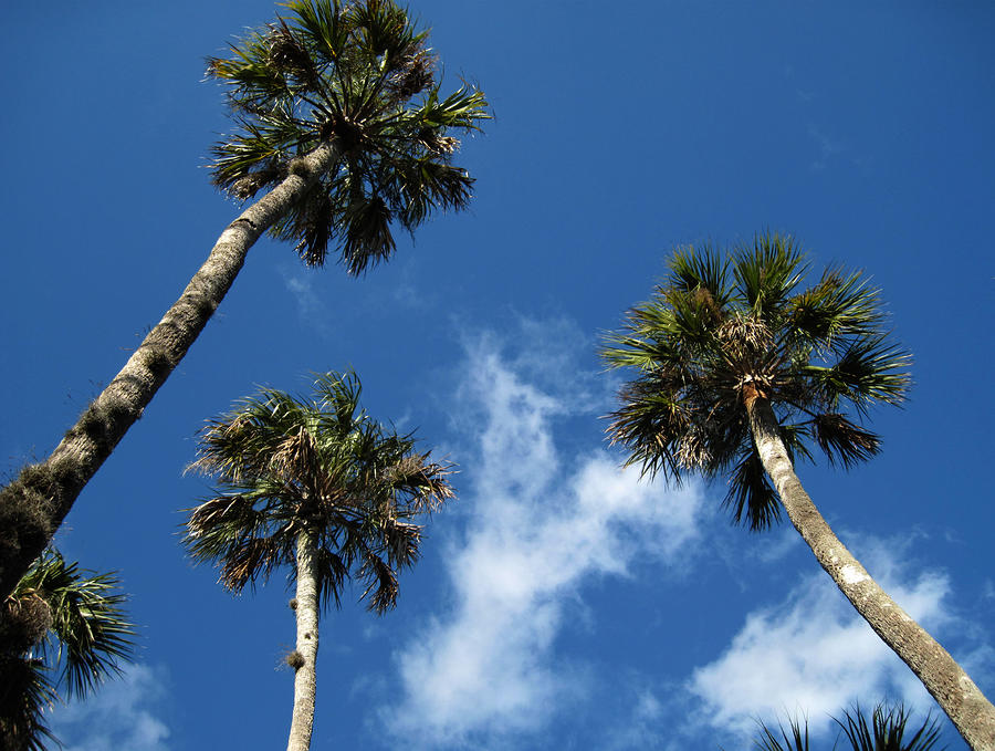 Up To The Sky Palms Photograph  - Up To The Sky Palms Fine Art Print