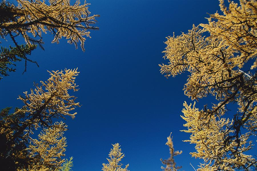 Upward View Of Blue Sky And Conifer Photograph