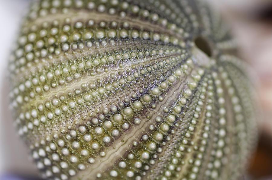 Urchin Texture Photograph