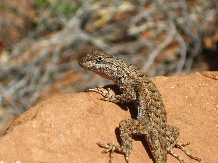 Utah Lizard Photograph