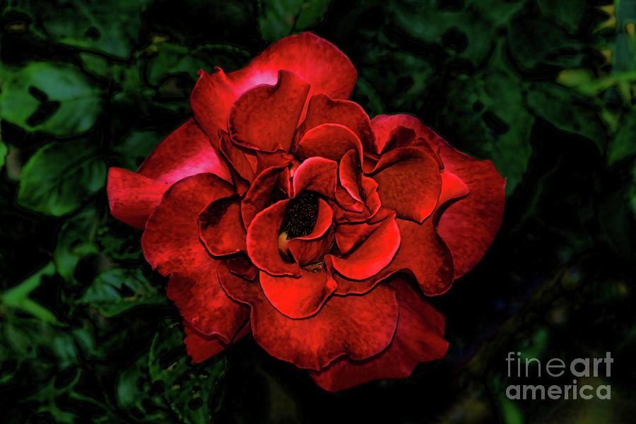 Valentine Rose Photograph