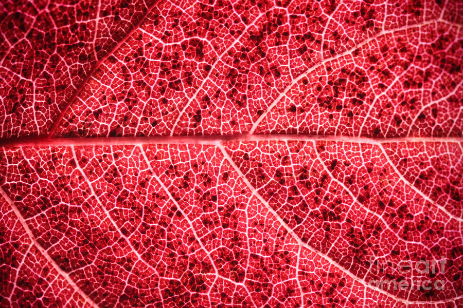 Veins In A Red Autumn Leaf Photograph