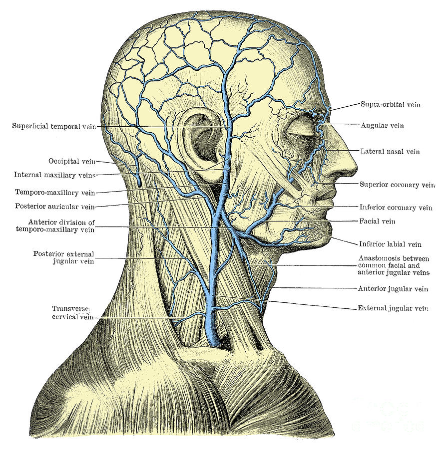 Human Photograph - Veins Of The Head And Neck by Science Source