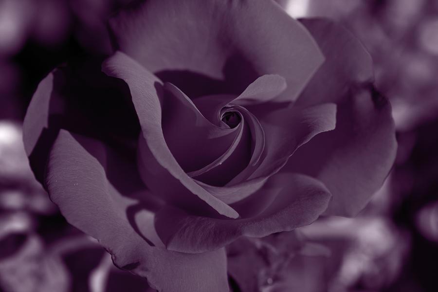 Velvet Rose Photograph